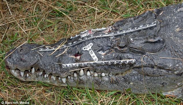 Робо-крокодил поправился после остеосинтеза четырьмя металлическими пластинами на 41 винтах в голове