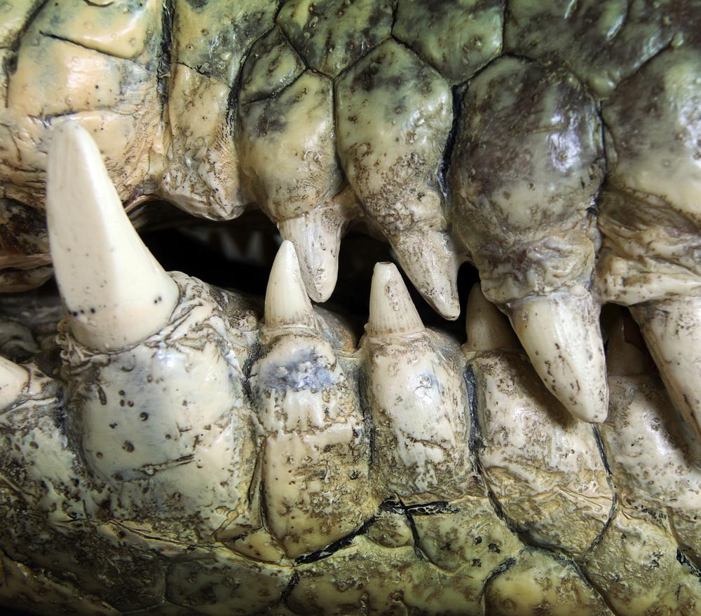 crocodile tooth